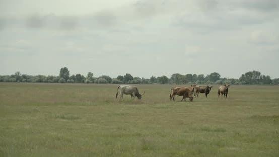 Thumbnail for Gray Cattle Herd