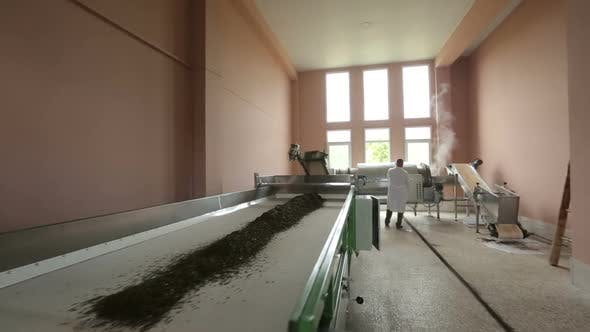 Thumbnail for Dried Leaves of Tea Slowly Go Down Conveyor, Production Technology, Export