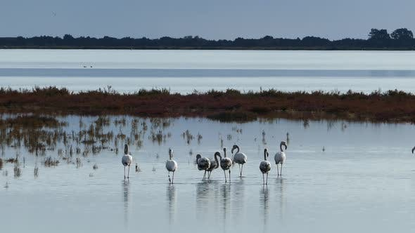 Cover Image for Group flamingos walking around the wetlands in Ethniko Parko Limnothalasson