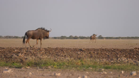 Thumbnail for Wildebeest walk and running away