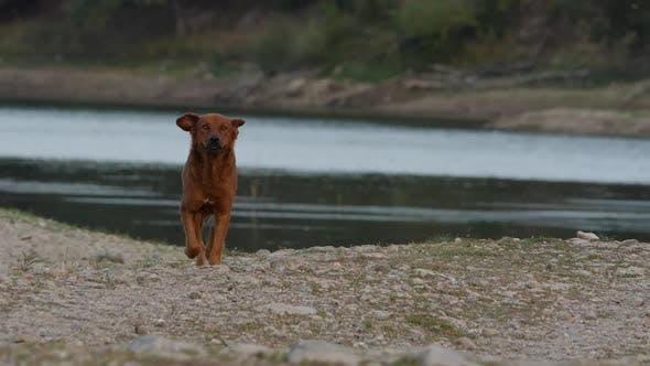 Dog Walks Along The Shoreline Of A Dam