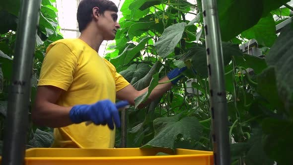 Cucumber on Farm Collected Worker of Greenhouse of Agriculture Spbd