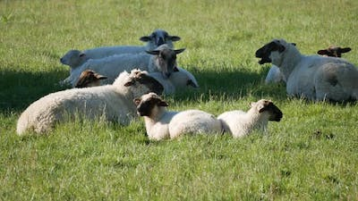 A group of sheep rest at the shade area