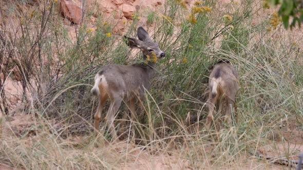 Young mule deer couple eating at Zion National Park, Utah, USA