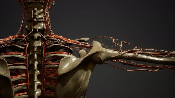 Thumbnail for Human Body Blood Vessel Anatomy