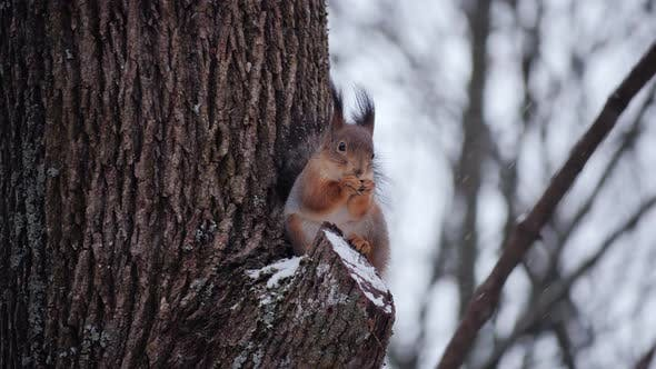 Funny Red Squirrel Sitting Branch Park Eats Nut
