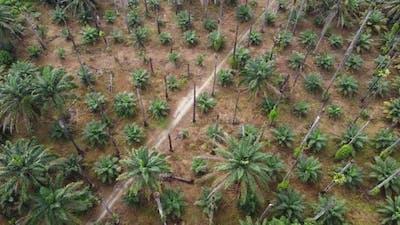 Leafless palm tree