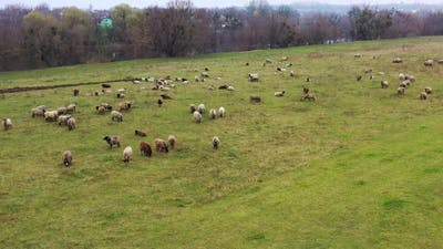 Aerial view of a farm with sheeps. Massive herd of sheep grazing at a farm ranch.