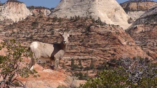 Desert Bighorn Sheep Immature Lone Standing in Spring Scenery Nature View Wilderness