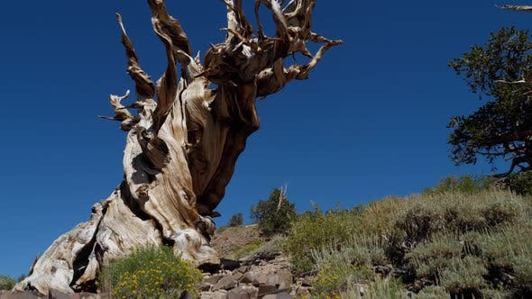 Thumbnail for Incredible Bristlecone pine tree that is thousands of years old