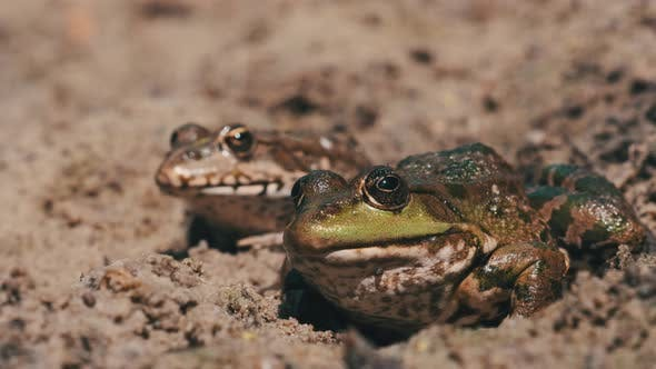 Two Frogs Sit Side By Side on the Sand Near the River Bank. Portrait of Toad