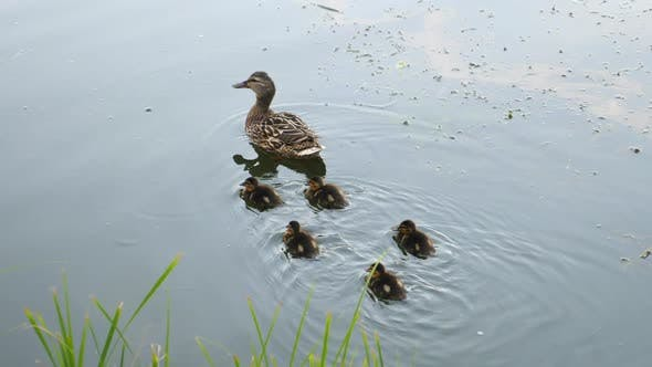 Thumbnail for Family Of Ducks. Mother Swimming With Cute Little Ducklings In River.