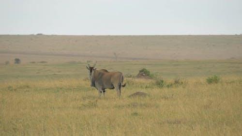 Common eland in Maasai Mara