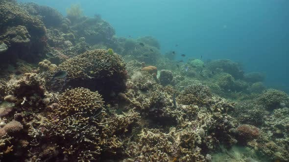 Thumbnail for Coral Reef and Tropical Fish. Camiguin, Philippines