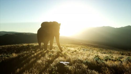 Old African Elephant Walking in Savannah Against Sunset