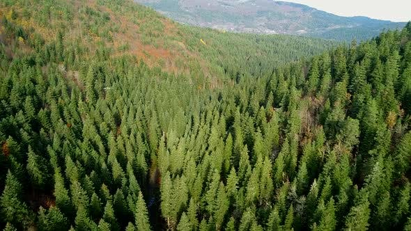 Thumbnail for Coniferous Trees In Nature