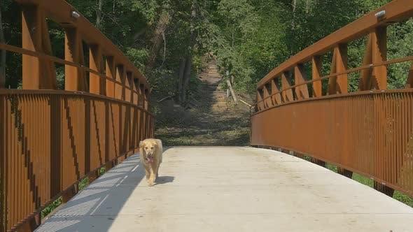 Thumbnail for Lonely Golden Retriever Dog Walking Across Bridge