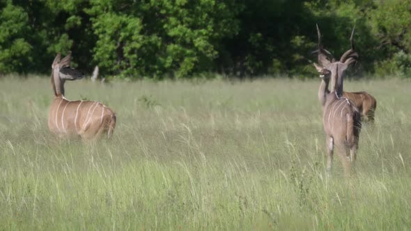 Greater kudu male with a herd of females