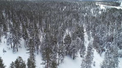 Snowy Pine Trees In Jungle