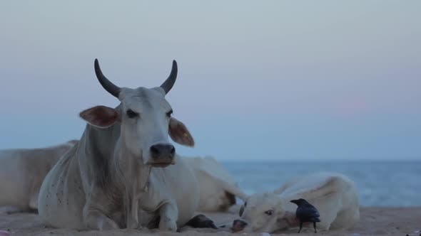 The Symbol of Sri Lanka. Cow on the Beach.