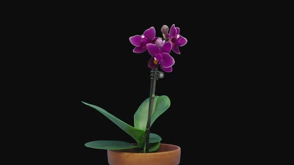 Thumbnail for Time-lapse of opening dark purple Phalaenopsis orchid flower