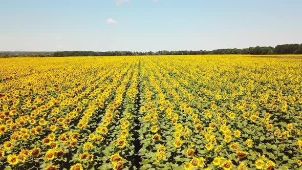 Thumbnail for Flight Over a Field of Sunflowers