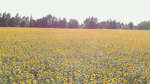 Sunflowers field. Harvesting and agronomy.