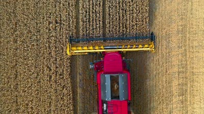 Harvester machine works in field. Agricultural combine machine harvesting wheat field