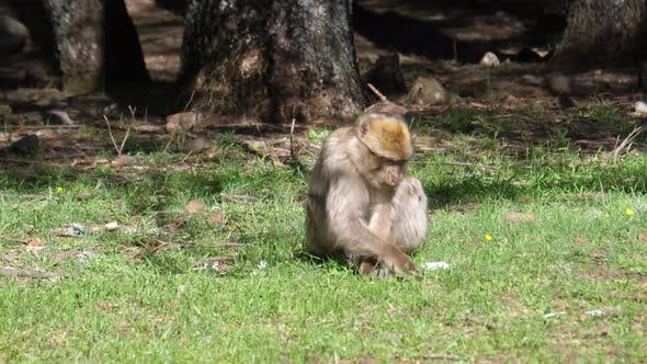 Thumbnail for Barbary ape eating at Cèdre Gouraud Forest