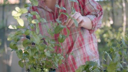Women hands refreshing leaves in the vegetable garden