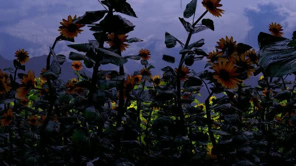 Thumbnail for Sunflower Field and Rain