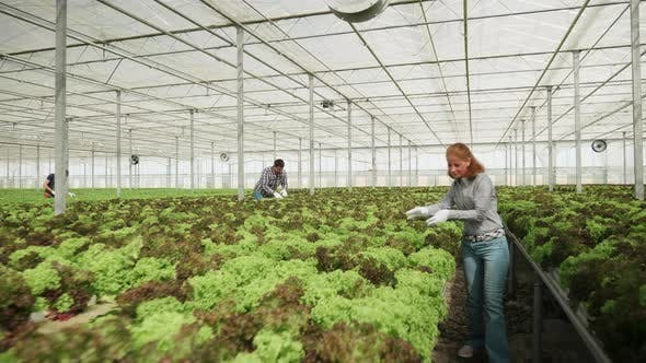 Thumbnail for Agronomy Engineer Inspecting the Grow of Salad Crops