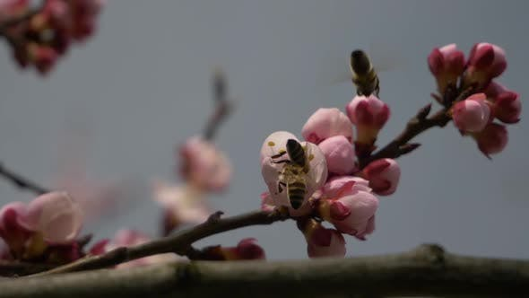 Thumbnail for Bees On Apricot Tree