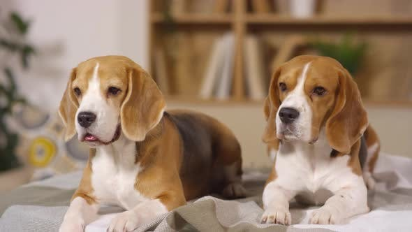 Thumbnail for Portrait of Two Adorable Beagle Dogs Lying Together on Bed