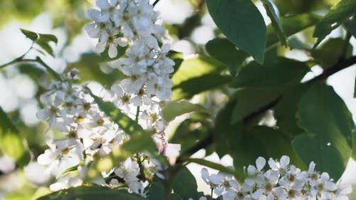 Flowering Branches Of Bird Cherry