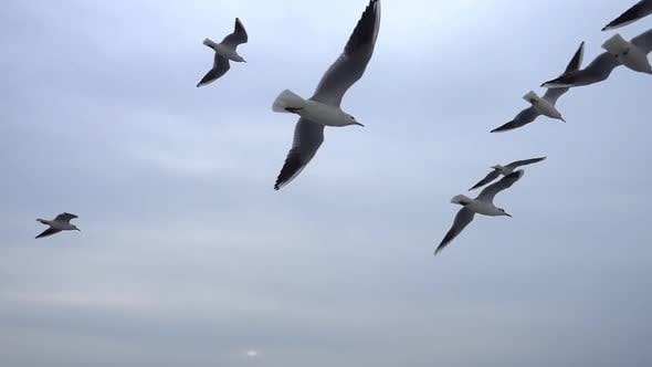 Thumbnail for Seagulls Flying In The Gray Clean Sky. Close Up Flock Of Birds Flies Slow Motion. 7