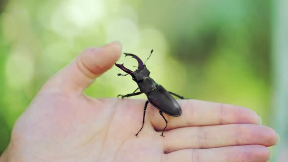 Thumbnail for Stag Beetle in Hand