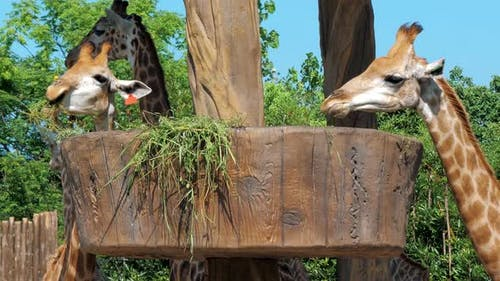Two Giraffes Eating Grass in a Zoo
