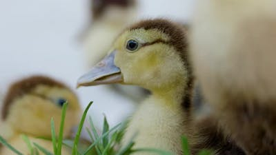 Little Ducklings In Green Grass On Sunny Day