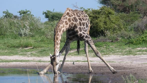 Thumbnail for Giraffe drinking from a waterpool