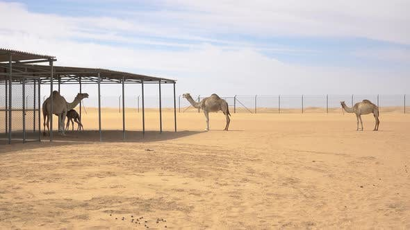 Thumbnail for Camel Coral in the Desert