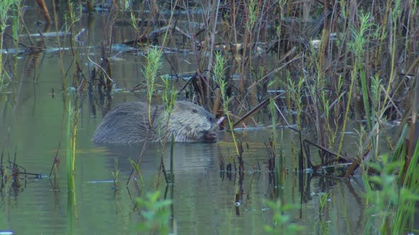 Beaver Adult Lone Eating Feeding in Spring in South Dakota