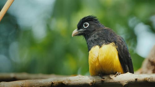 The Black-headed Trogon Is a Species of Bird in the Family Trogonidae