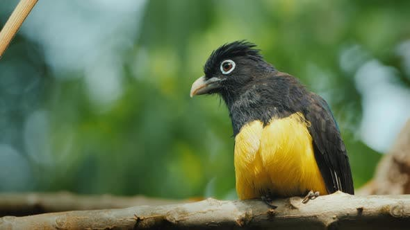 Thumbnail for Der Schwarzkopftrogon ist eine Vogelart aus der Familie der Trogonidae (Trogonidae).