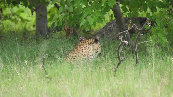 Thumbnail for Leopard looking around in Moremi Game Reserve
