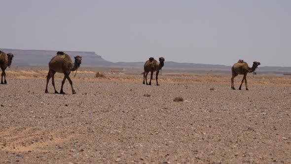 Thumbnail for Herd dromedary camels passing by
