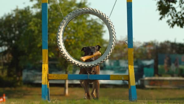 Thumbnail for Dog jumping through a wheel, Ultra Slow Motion