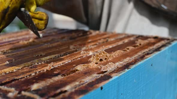 Thumbnail for Close Up View of Beekeeper Remove Beeswax From Honeycomb with Brood Nests and Bees on It