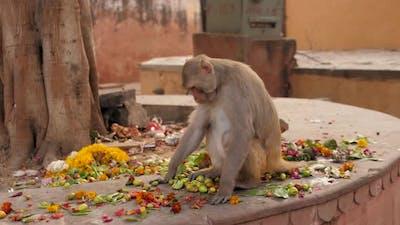 Monkey Indian Monkey Monkey Eating Fruits Garbage Indian Streets Monkeys on Indian Street