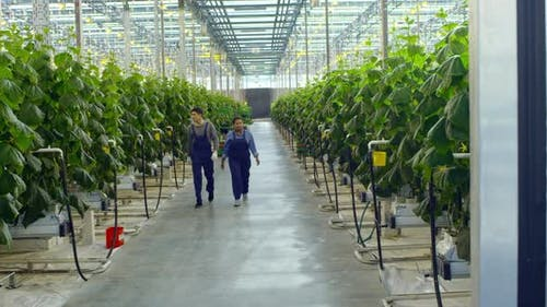 Greenhouse Workers Walking and Talking
